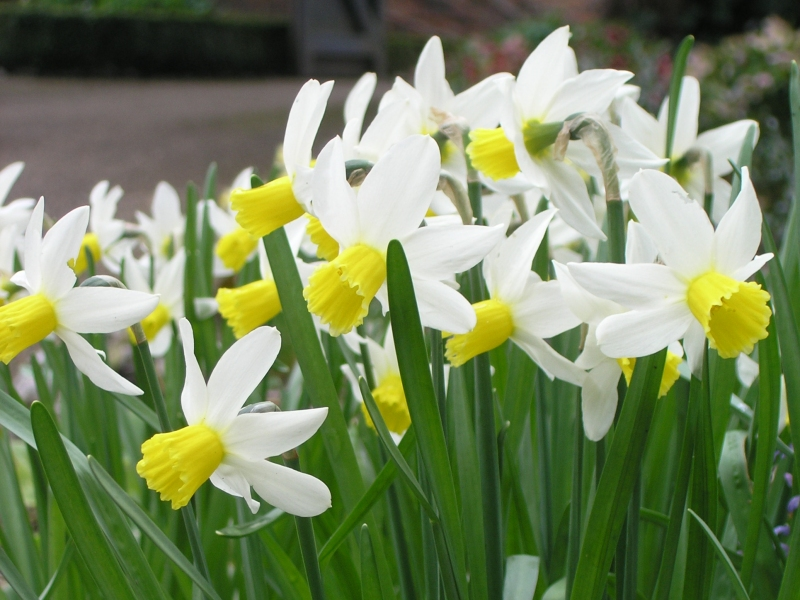 Narcissus cyclamineus 'Jack Snipe'.jpg